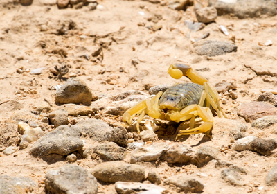 CAR T Cell Adds Scorpion Venom to Tackle Tumor Heterogeneity