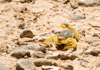 CAR T Cell Adds Scorpion Venom to Tackle Tumor Heterogeneity