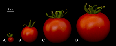 Image of the Day: Tomato Domestication