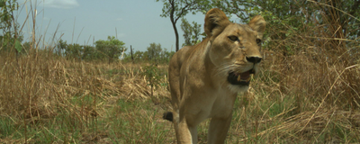 Image of the Day: Lion Cam