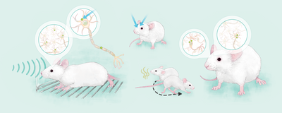 Infographic: Messing with a Mouse's Memory