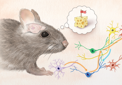 Infographic: How Adult-Born Neurons Integrate into the Brain