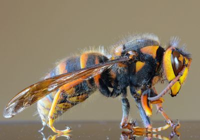 "Researchers Try to Head Off ""Murder Hornets"" Coming into US"