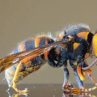 研究人员试图阻止杀人黄蜂进入美国