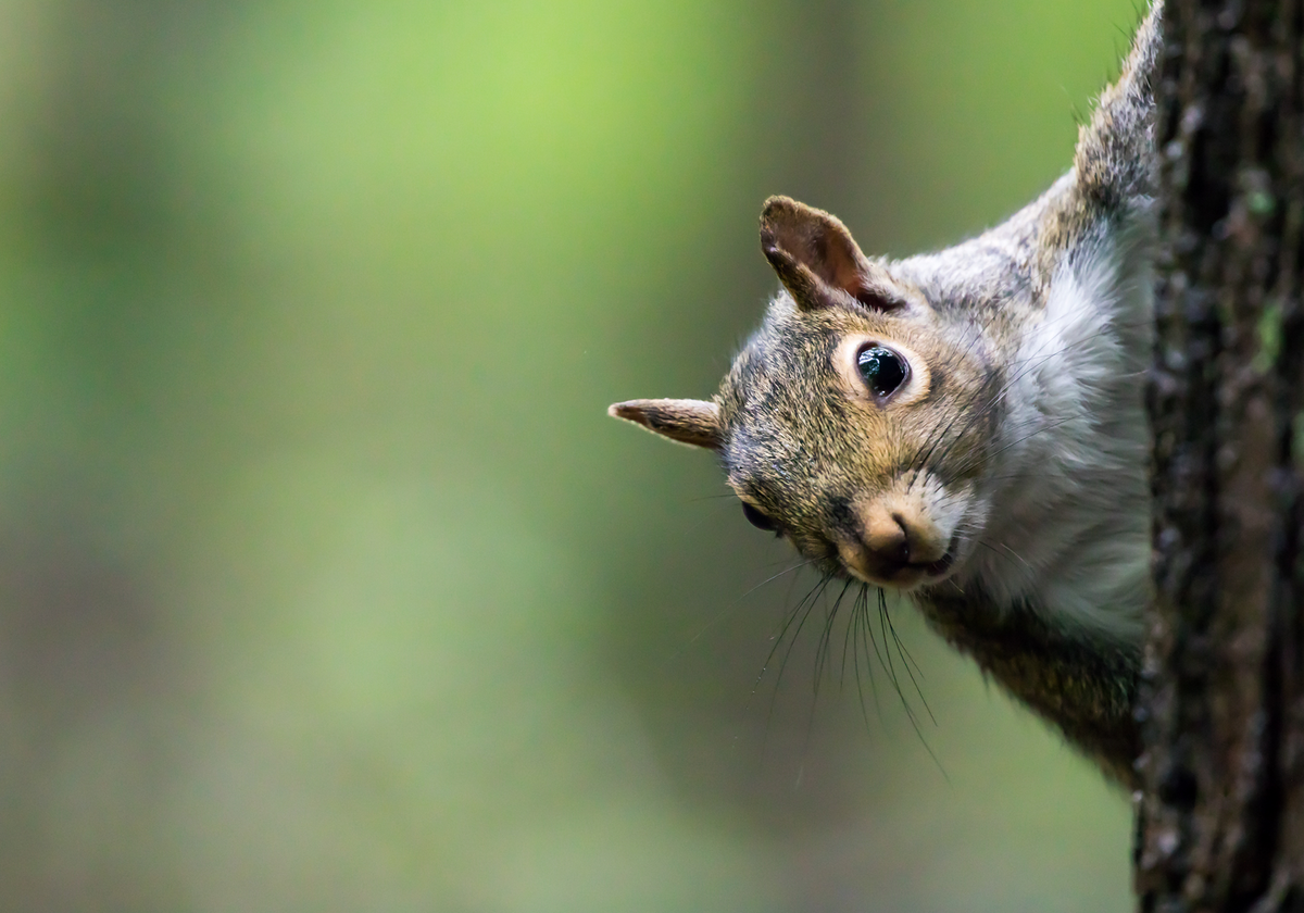 How Squirrels Use Bird Chatter To Assess Safety The Scientist Magazine