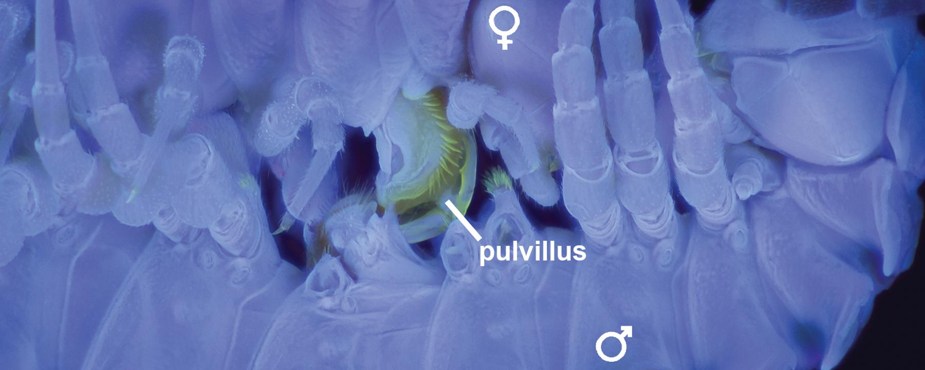 The Hidden World of Millipede Sex