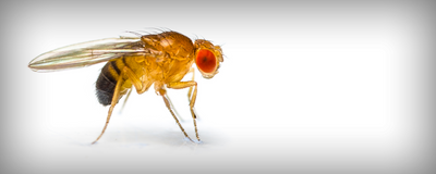 Male Flies' Y Chromosome May Contribute to Earlier Deaths