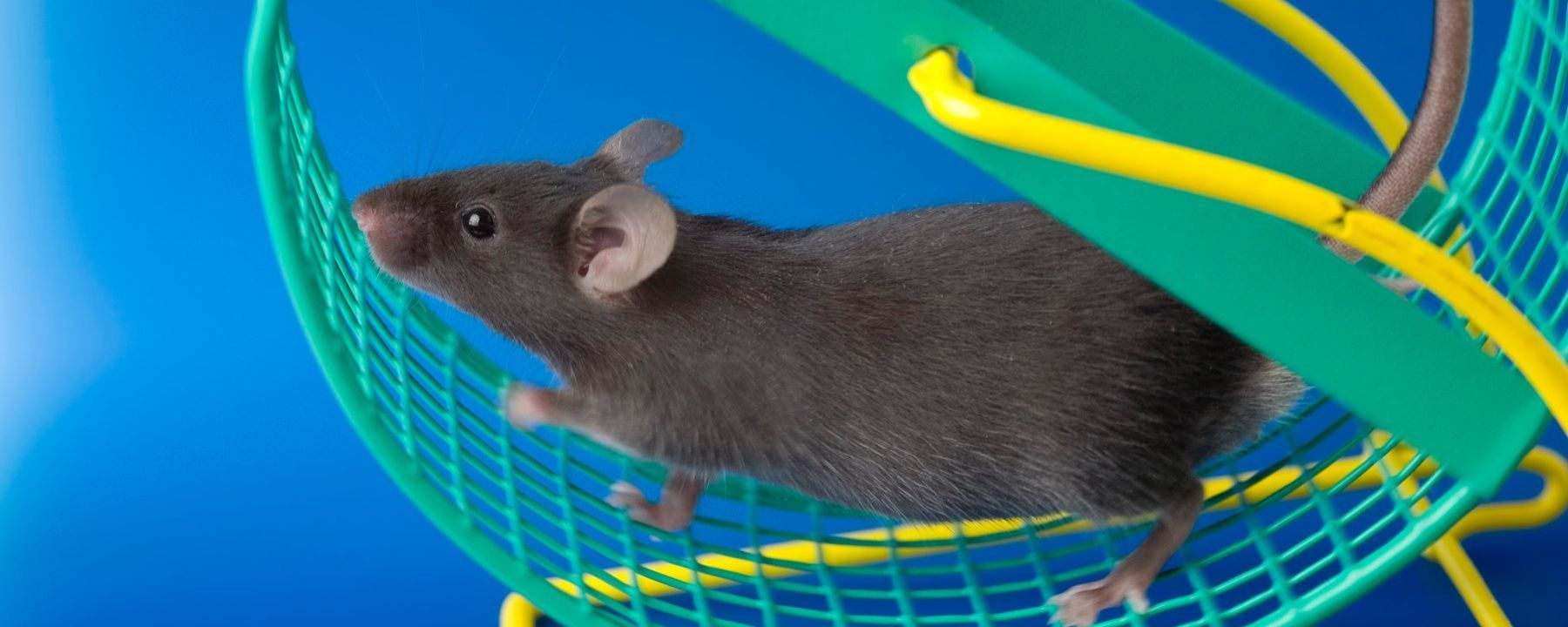 Blood Transplants from Active Mice Give Brain Boost to Others