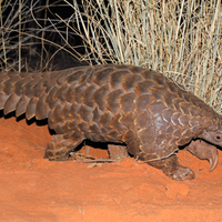 Tracking Pangolin Traffic Networks