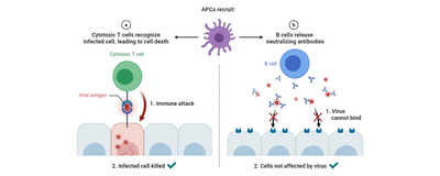 The Search for Immune Responses that Stop COVID-19