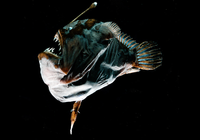 For Mates to Fuse Bodies, Some Anglerfish Have Lost Immune Genes