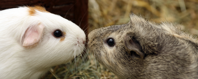 Influenza Aboard Dust Particles Infects Guinea Pigs