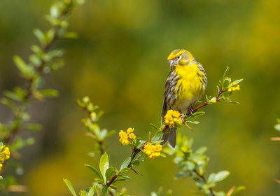 The Gene that Makes Female Birds Drab