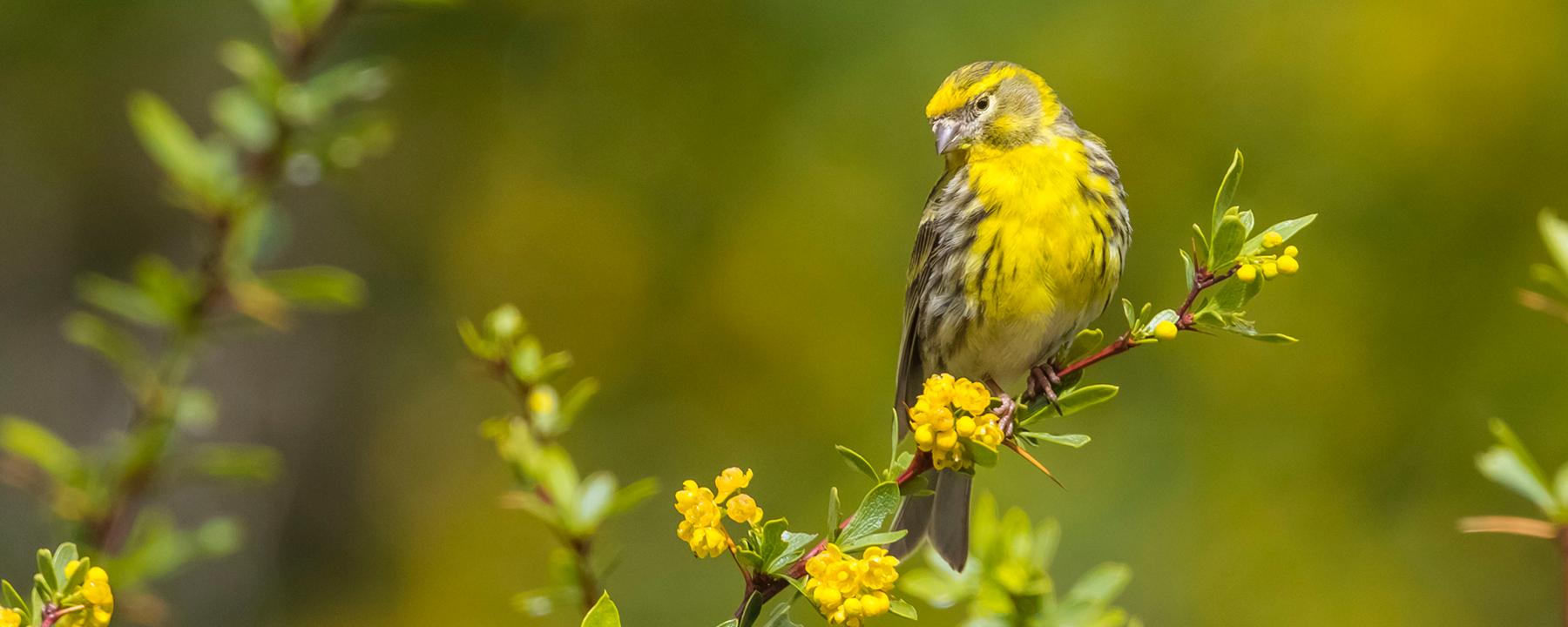 The Gene that Makes Female Birds Drab
