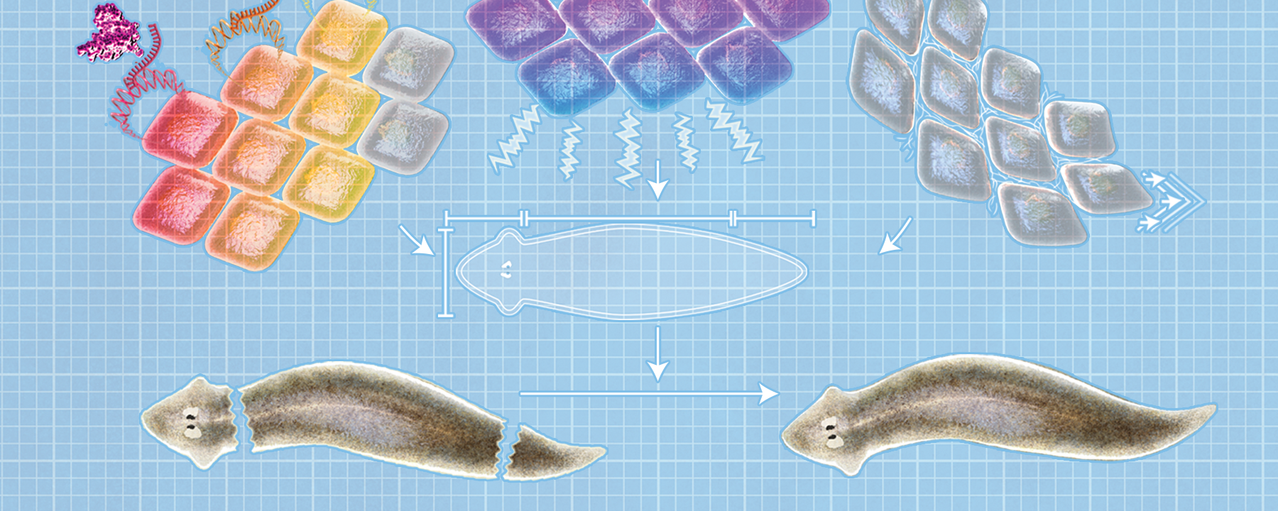 Infographic: Anatomical Construction by Cell Collectives