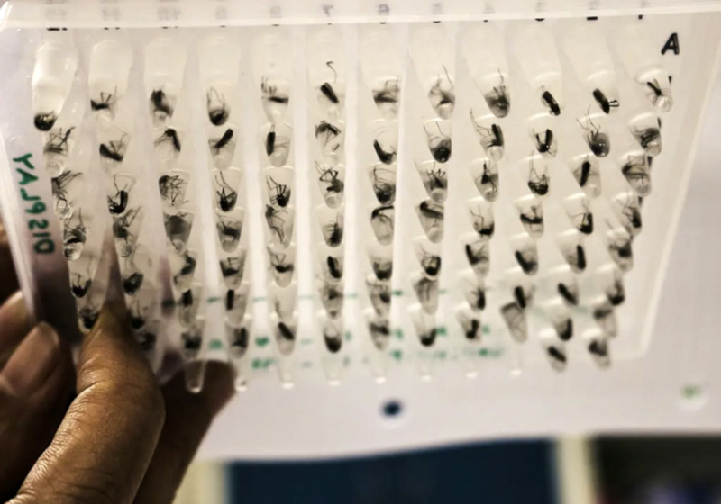 Bacteria-Laced Mosquitoes Limit Spread of Dengue