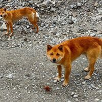 Singing Dogs, Once Thought Extinct, Found in the Wild