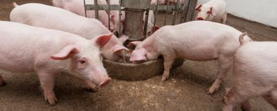 Transplanted Stem Cells Produce Sperm in Sterilized Livestock