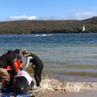 More than 450 Pilot Whales Stranded in Tasmanian Inlet