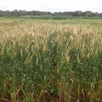 小麦瘟病第一次在非洲抵达赞比亚