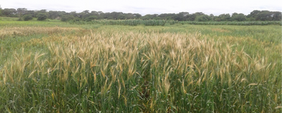 Wheat Blast Arrives in Zambia, First Time in Africa