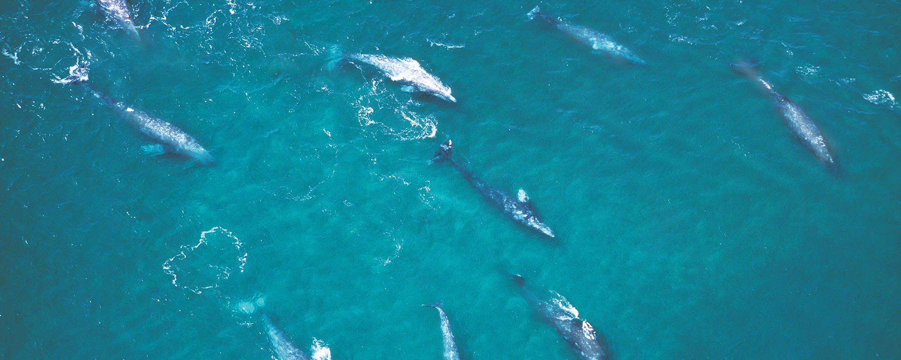 Clues Point to Climate Change as a Culprit in Gray Whale Deaths