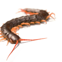 How a Centipede Survives its Own Species' Venom