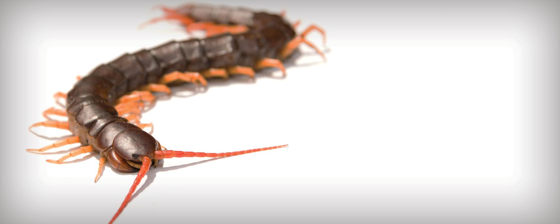 How a Centipede Survives its Own Species' Venom