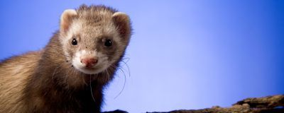Ferret Study Reinforces Role of Aerosols in SARS-CoV-2 Spread