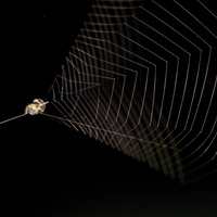 Slingshot Spiders Pull More Gs than Cheetahs Do