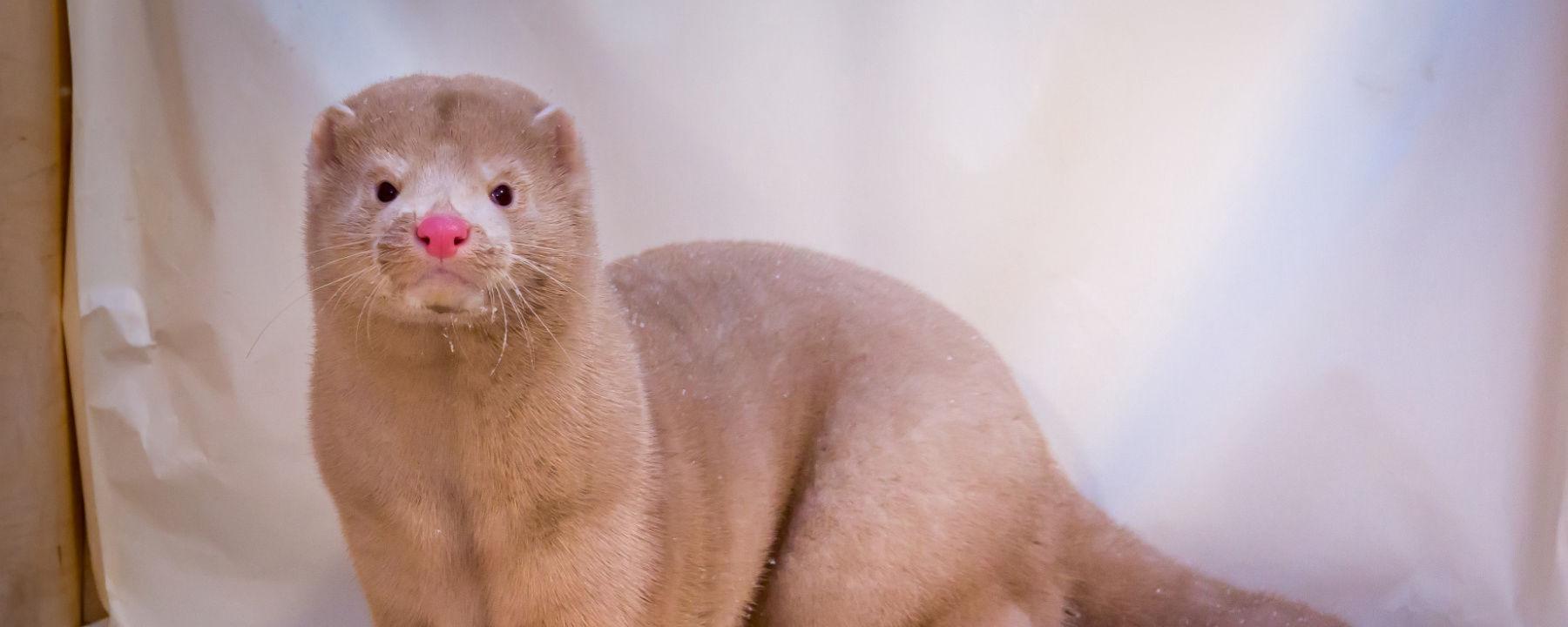 Denmark to Cull 17 Million Mink Amid SARS-CoV-2 Mutation Concerns