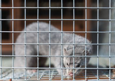 Q&A: Minks Can Transmit SARS-CoV-2 to Humans, Study Shows