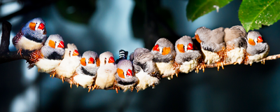 Zebra Finches Recognize the Calls of Over 40 Fellow Finches