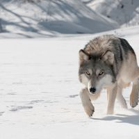 Gray Wolf Reintroduction in Colorado Encounters Federal Kerfuffle