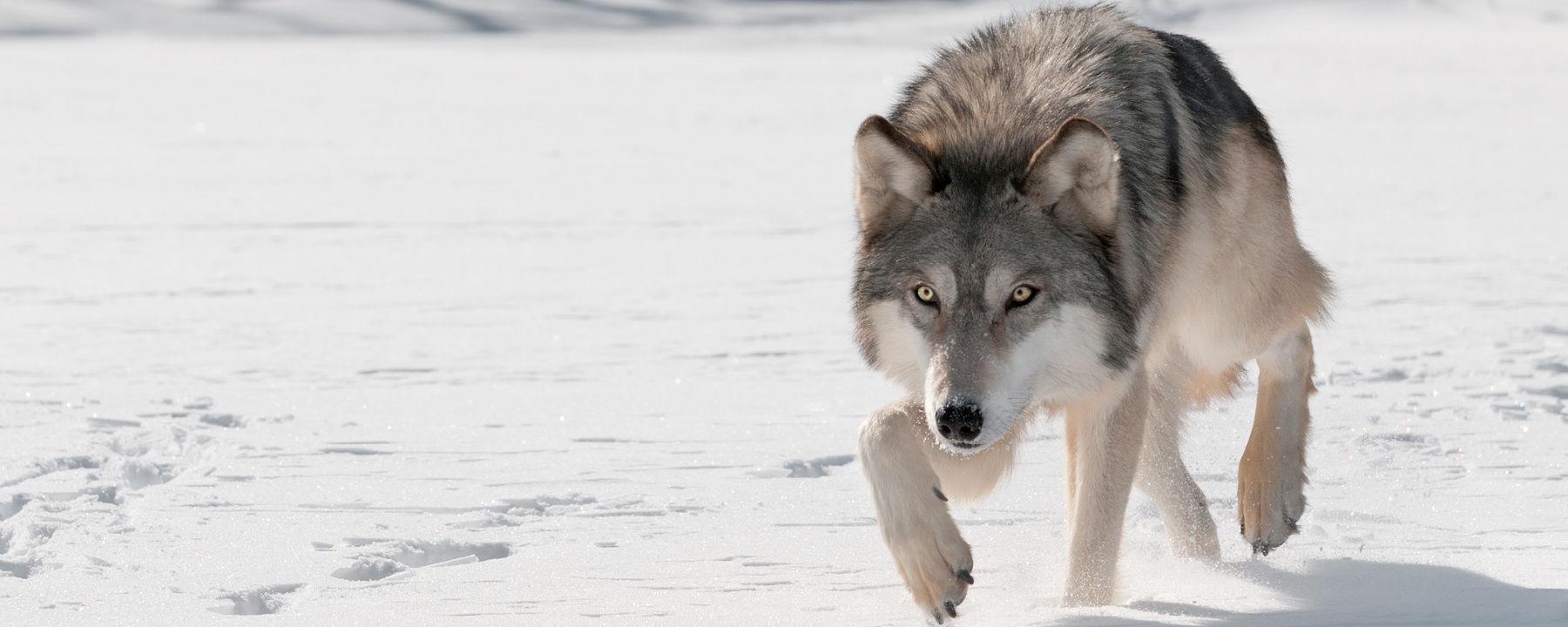 Gray Wolf Reintroduction in Colorado Encounters Federal Kerfuffle