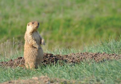 Farming Associated with Long-Term Decline in Marmot Populations