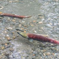 Q&A: Tire Rubber Preservative Harms Coho Salmon, Study Suggests