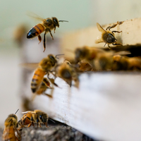 Honeybee Microbes Shape the Colony's Social Behavior