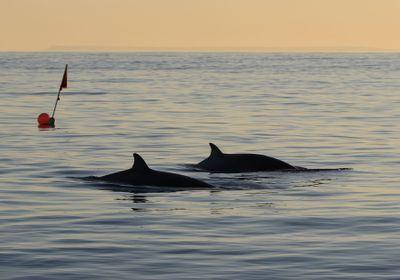 Previously Unknown Beaked Whale Species Spotted off Mexico