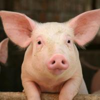 FDA批准将猪的基因改造用于生物医学和食品