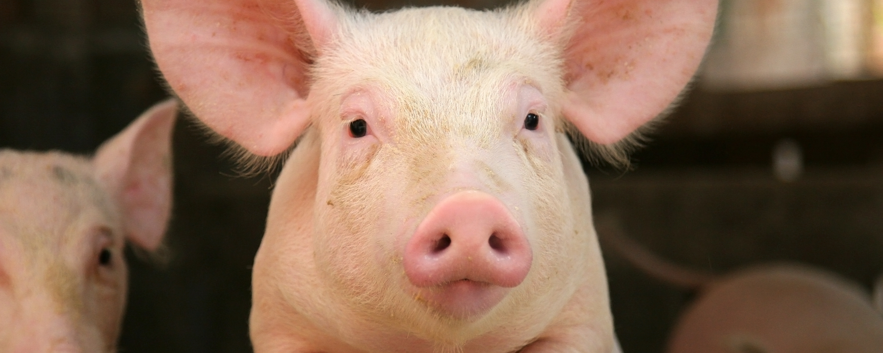 FDA Clears Genetic Modification in Pigs for Biomedicine and Food