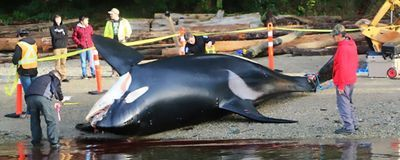 What's Killing Killer Whales? Autopsies Reveal a Role for Humans