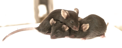 Mice Share Each Other's Pain and Fear