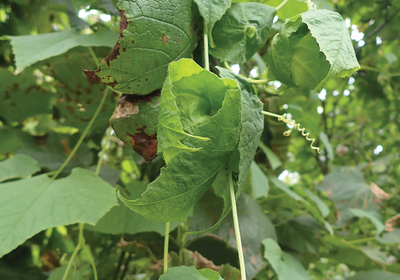 Specialized Leaves Keep This Plant's Fruit Warm
