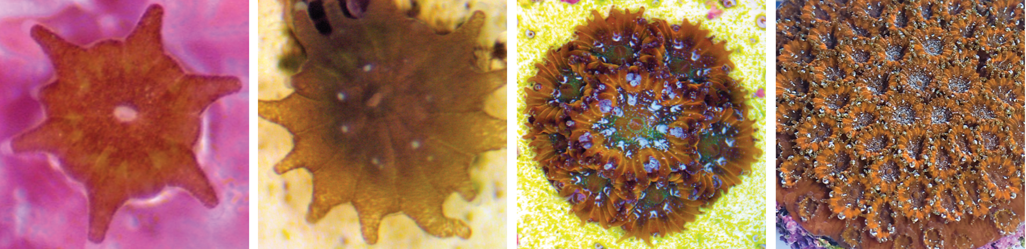 Baby mountainous star corals at different stages of growth
