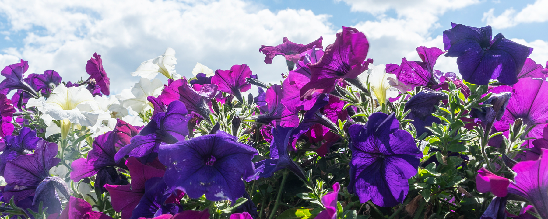 Petunia's Waxy Cuticle Regulates the Plant's Sweet Smell