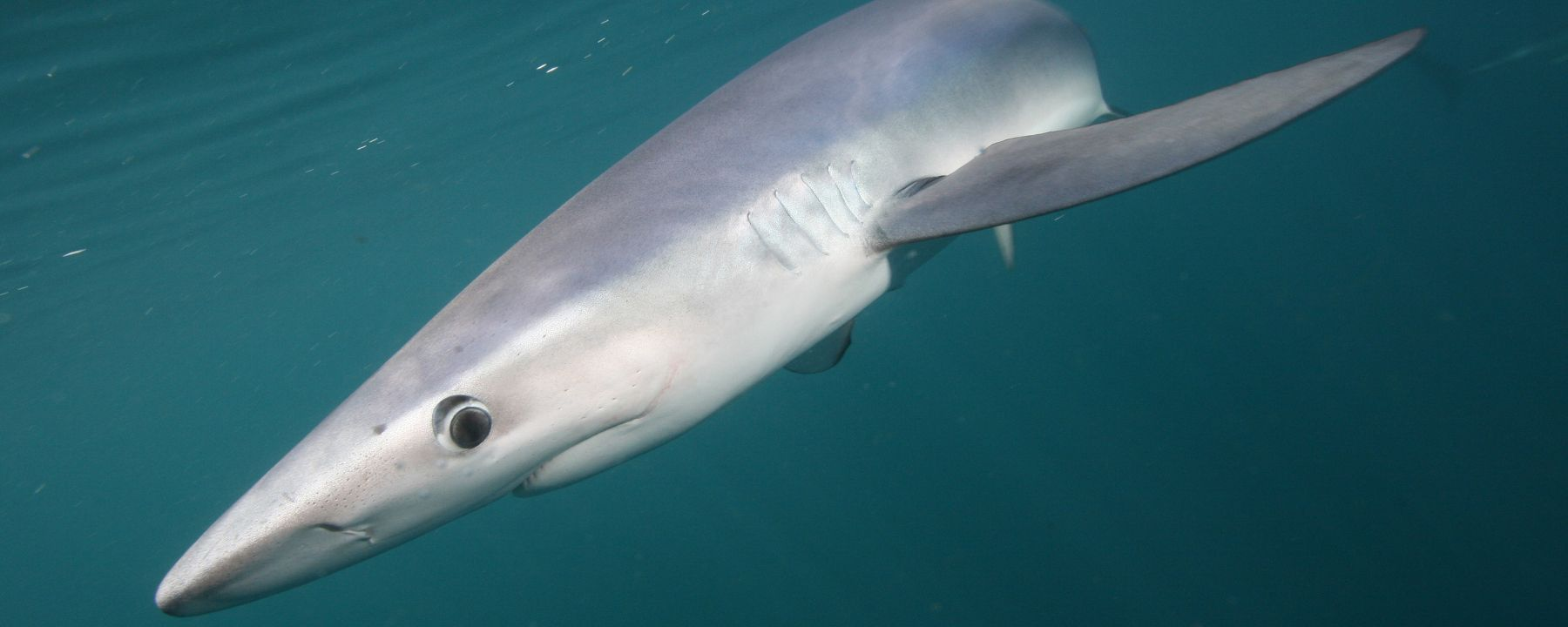 Climate Change Could Drive Sharks to Fishing Grounds: Study