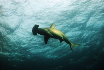 Oceanic Shark and Ray Numbers Down 71 Percent over Past 50 Years