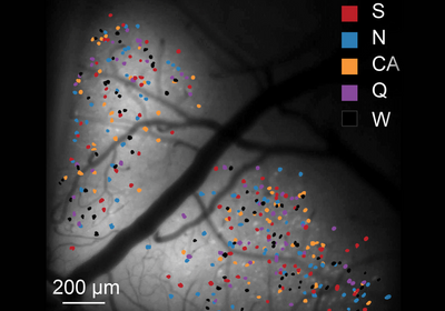 Neurons for Taste Loosely Distributed in Mouse Gustatory Cortex