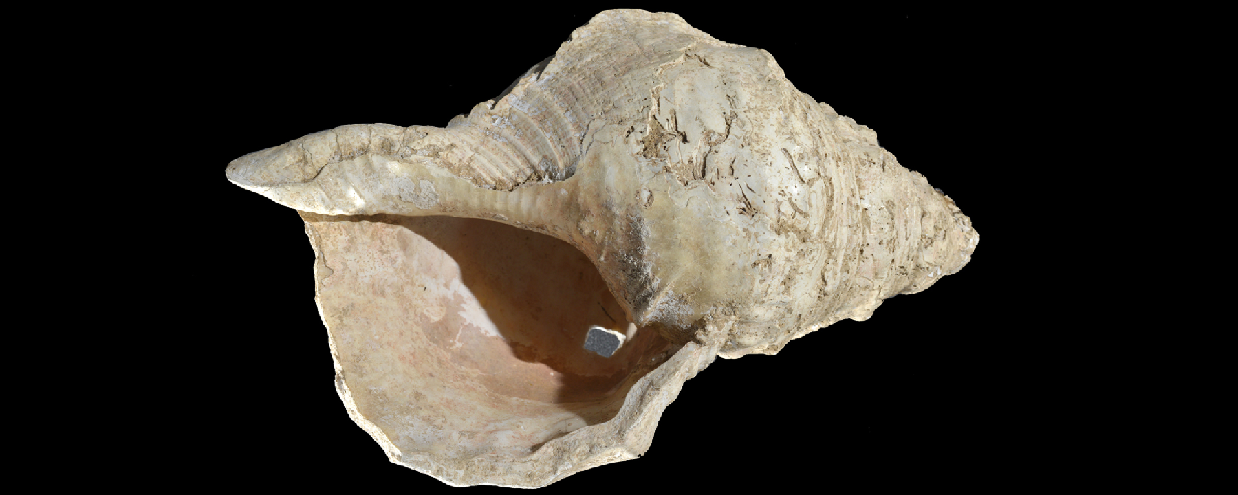 Conch Horn Finds Its Song Again After 17,000 Years